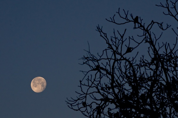 Roosting in moonlight
