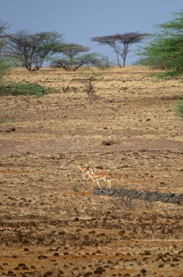 Indian Gazelle at Mayureshwar